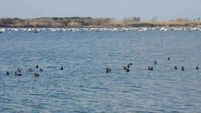 Folaghe nel lago Fusaro stock footage