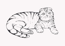 Fold cat - hand drawn vector illustration. Flap-eared tabby kitten is lying. Realistic portrait housecat. royalty free illustration