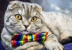 Fold cat in a tie butterfly rainbow colors. Scottish fold cat in a tie butterfly rainbow colors. gaze of the cat stock photo