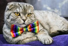 Fold cat in a tie butterfly rainbow colors