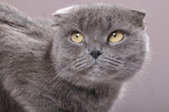 Fold ear Scottish cat. Close-up portrait of a fold ear Scottish breed grey cat Stock Images