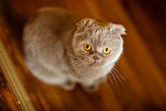 Fold grey cat with yellow eyes.  Stock Photography