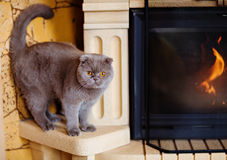 Fold grey cat with yellow eyes sitting at the fireplace Stock Photography