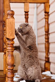 Fold grey cat with yellow eyes standing on wooden stairs Royalty Free Stock Image