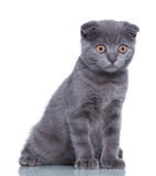 Fold kitten Royalty Free Stock Photos