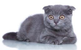 Fold kitten Stock Image