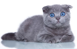 Fold kitten Royalty Free Stock Photo