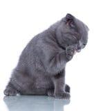 Fold kitten Stock Photography