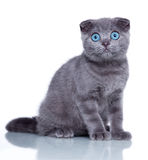 Fold kitten Stock Photography
