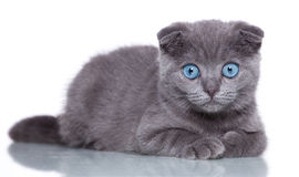 Fold kitten Stock Images