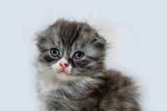Fold kitten fluffy Royalty Free Stock Photography