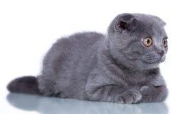 Fold kitten Royalty Free Stock Image