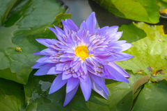 Fold Lotus Royalty Free Stock Image