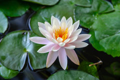 Fold Lotus Stock Image