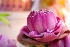 Folded into lotus petals. Royalty Free Stock Photography