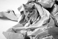 Folded paper. Blue British Shorthair cat among some folded paper royalty free stock photography