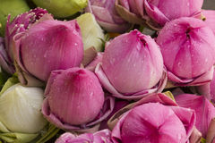 Folded petal waterlily. For paying respect to Buddha in Thailand Stock Images