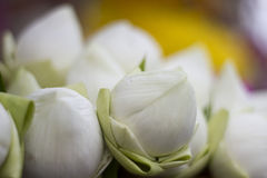 Folded petal waterlily. For paying respect to Buddha in Thailand Stock Image