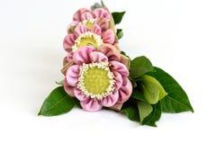 Folded pink lotus flowers isolated on white background Royalty Free Stock Photos