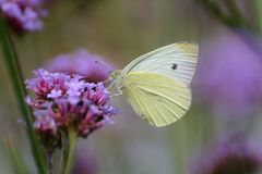 Large white butterfly on violet verbena. Folded wings of large white butterfly, Pieris brassicae, contrasting with the violet of verbena bonasieris, and violet Royalty Free Stock Photo