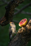 A Folden Fronted Woodpecker Stock Image