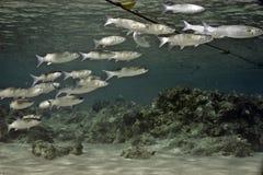 foldlip labiosus梭鱼oedalechilus 库存照片