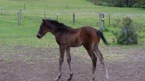 Fole. Horse baby Stock Images
