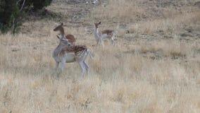 Folgen Sie der Rotwildfamilie, die im Gras steht stock video