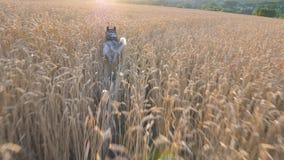 Folgen Sie zum Hund des sibirischen Huskys, der schnell durch goldene Ährchen in der Wiese zu ihrem Eigentümer bei Sonnenuntergan stock video footage