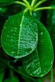 A folha é verde Imagem de Stock Royalty Free