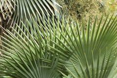 Folha abstrata, fanlike dos palmettos em Florida Foto de Stock