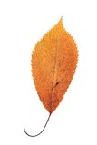 Folha alaranjada bonita do outono da cereja fotografia de stock