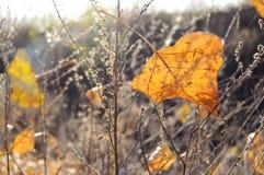 Folha alaranjada do álamo da queda no fundo da grama seca Contexto do outono fotos de stock