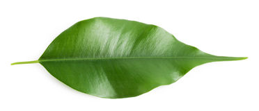 Folha alaranjada quente verde Fotografia de Stock