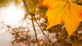 Folha amarela com água no fundo imagem de stock royalty free