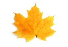 Folha amarela de um bordo fotografia de stock royalty free
