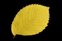 Folha amarela do outono Fotografia de Stock Royalty Free