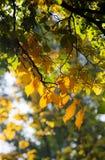 Folha amarela e verde fotografia de stock royalty free
