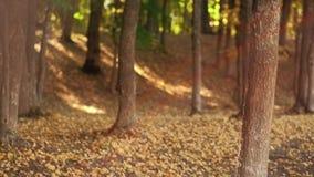 Folha amarela em mudança da floresta do outono das estações filme