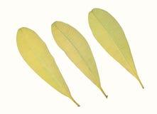 Folha amarela isolada no fundo branco Imagem de Stock