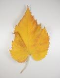 Folha amarela na queda Foto de Stock Royalty Free