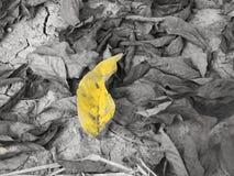 Folha amarela no fundo seco da folha Fotografia de Stock Royalty Free
