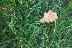 A folha amarela seca caiu na grama verde Outono adiantado Imagem de Stock Royalty Free