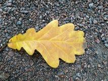Folha amarelada do carvalho do outono no trajeto pebbled do parque imagens de stock