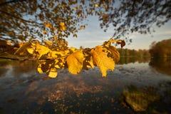 Folha amarelada no fundo do lago, close up grande imagens de stock