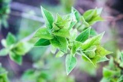 Folha azul esverdeado Foto de Stock