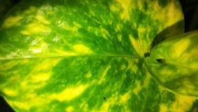 Folha bonita da planta da planta de dinheiro ou do aureum do Epipremnum fotografia de stock
