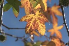 Folha bonita da queda no céu azul e na folhagem de outono Imagem de Stock Royalty Free