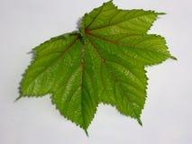 Folha bonita do verde do quiabo imagens de stock royalty free