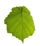 Folha côr de avelã isolada no branco Imagens de Stock